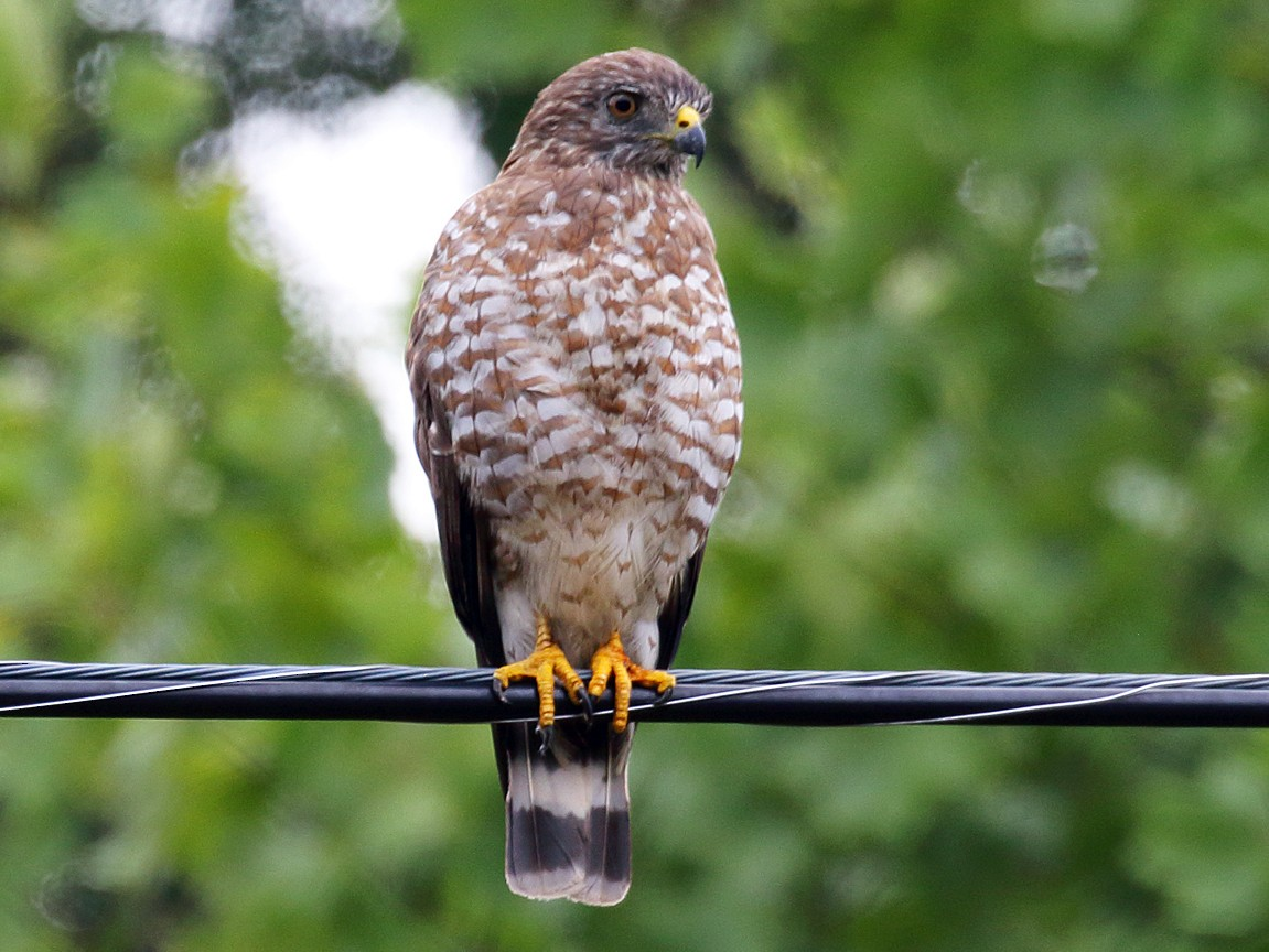 Broad-winged Hawk - Dan Vickers
