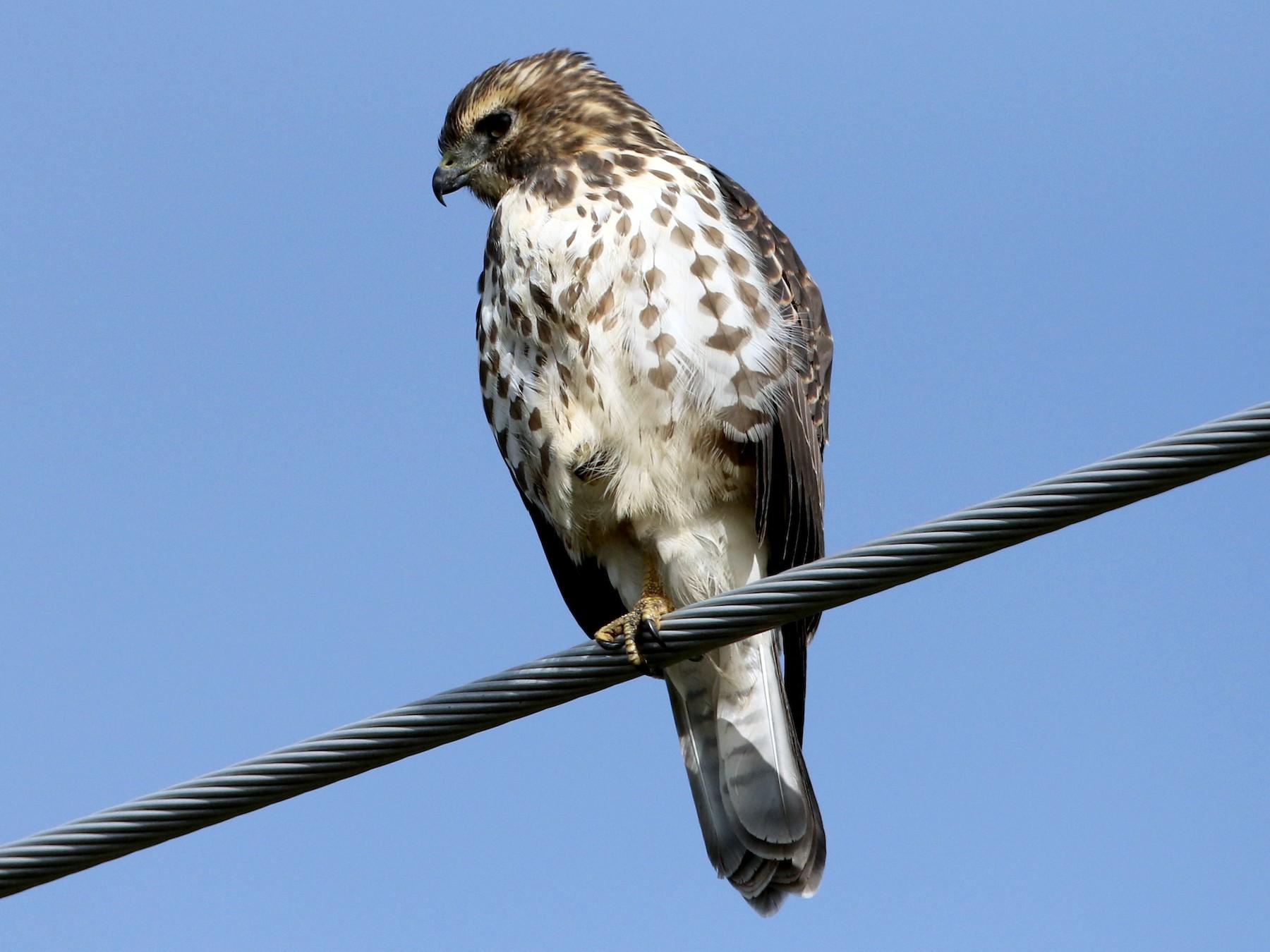 Broad-winged Hawk - Jay McGowan