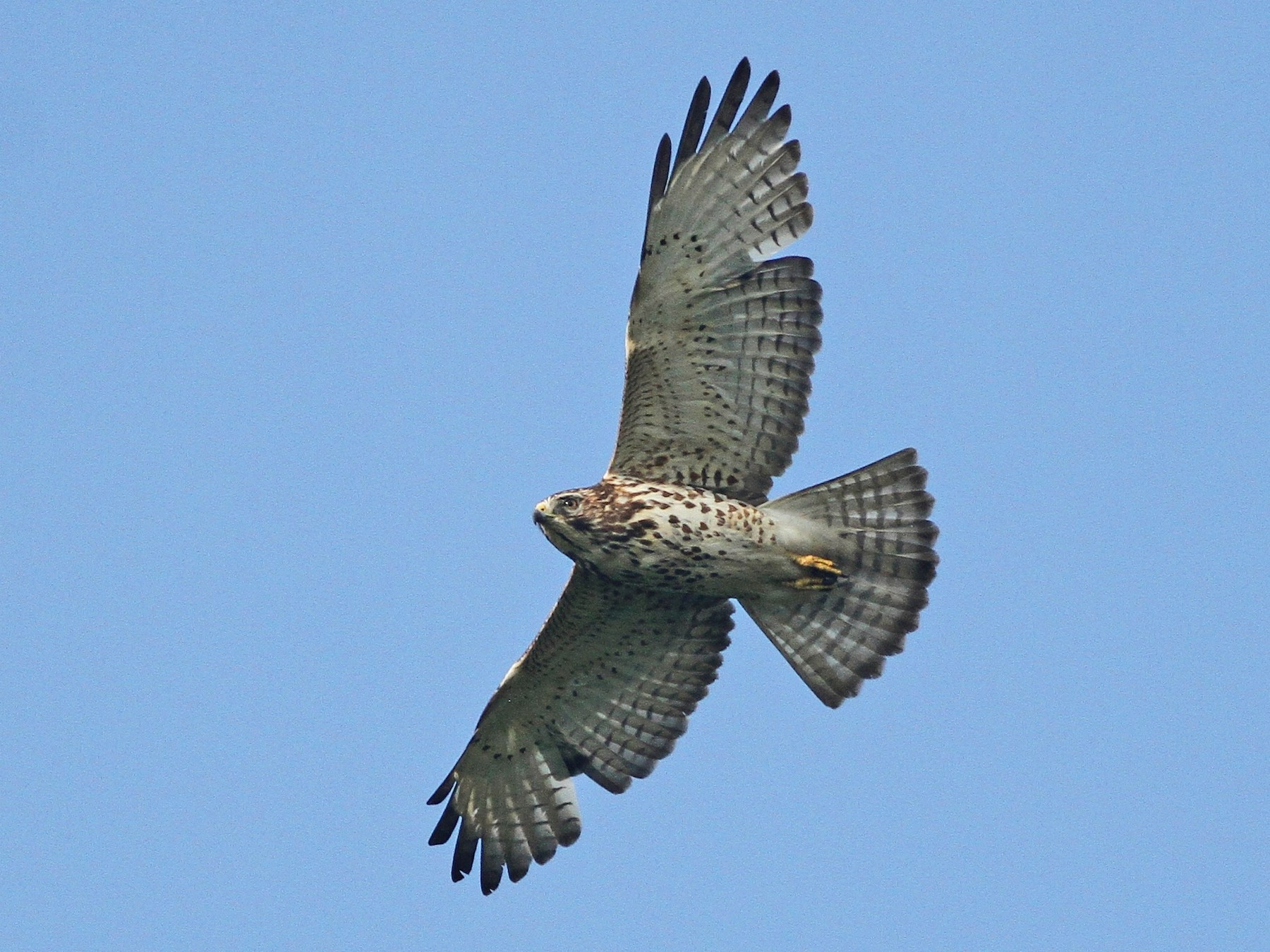 Broad-winged Hawk - Alex Lamoreaux