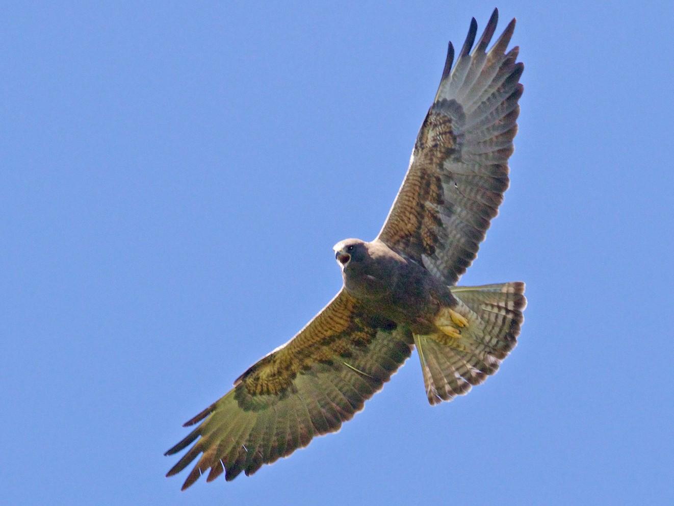 Swainson's Hawk - Ed  Harper