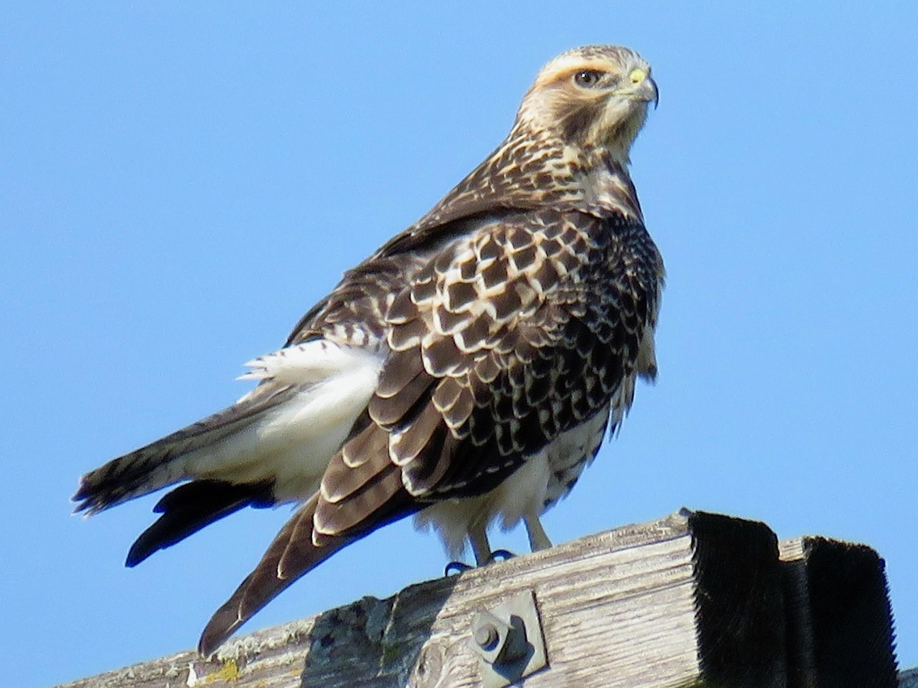 Swainson's Hawk - Ann Tanner