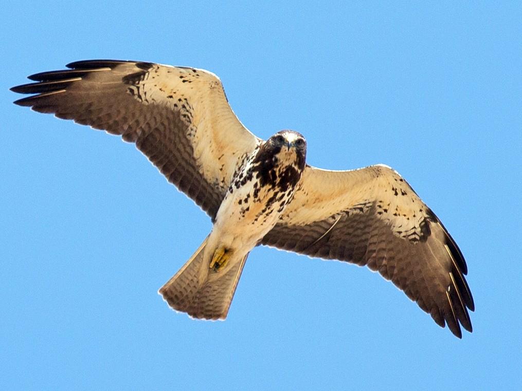 Swainson's Hawk - Chris Wood