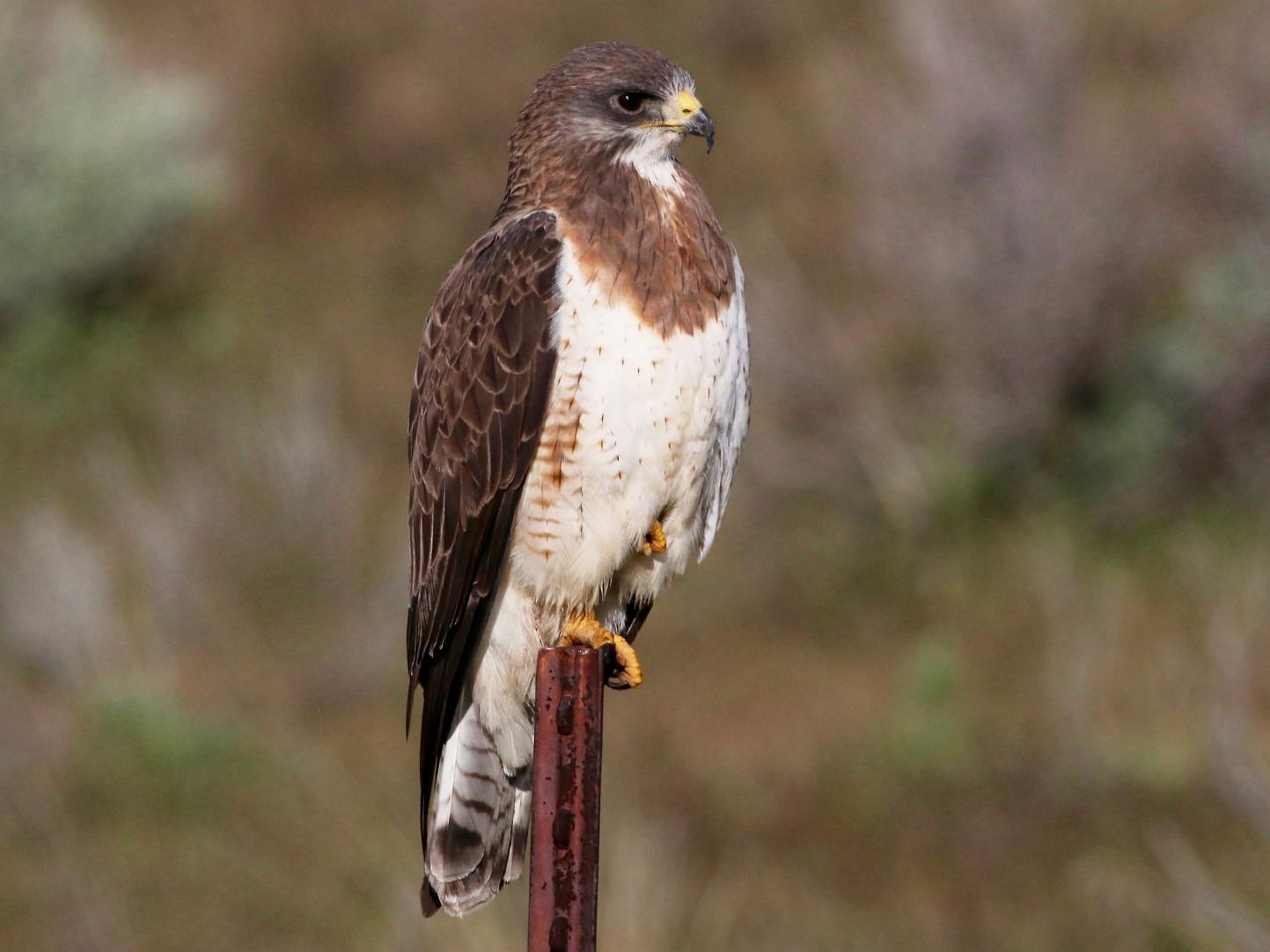 Swainson's Hawk - Brian Rusnica