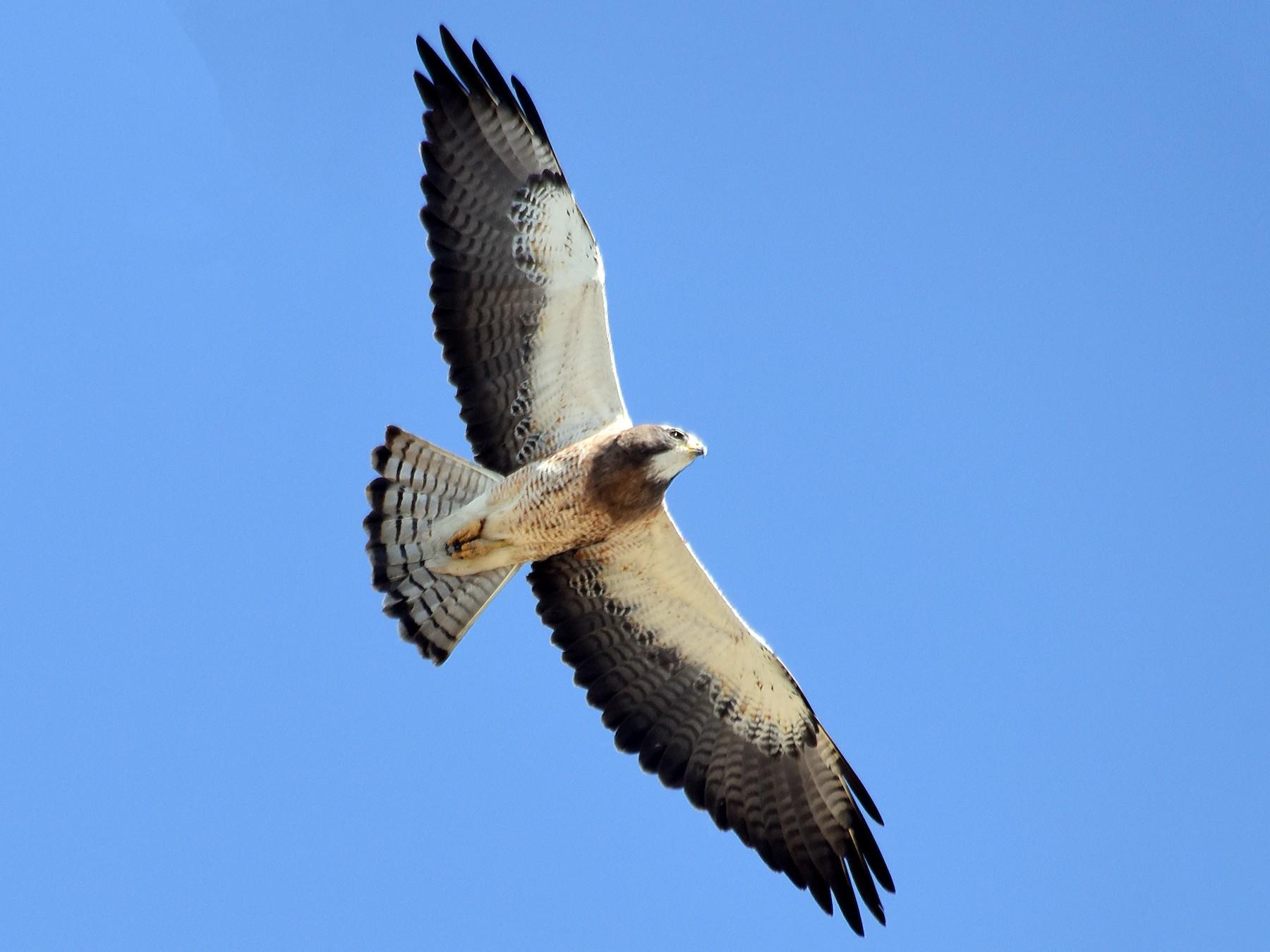 Swainson's Hawk - Steven Mlodinow