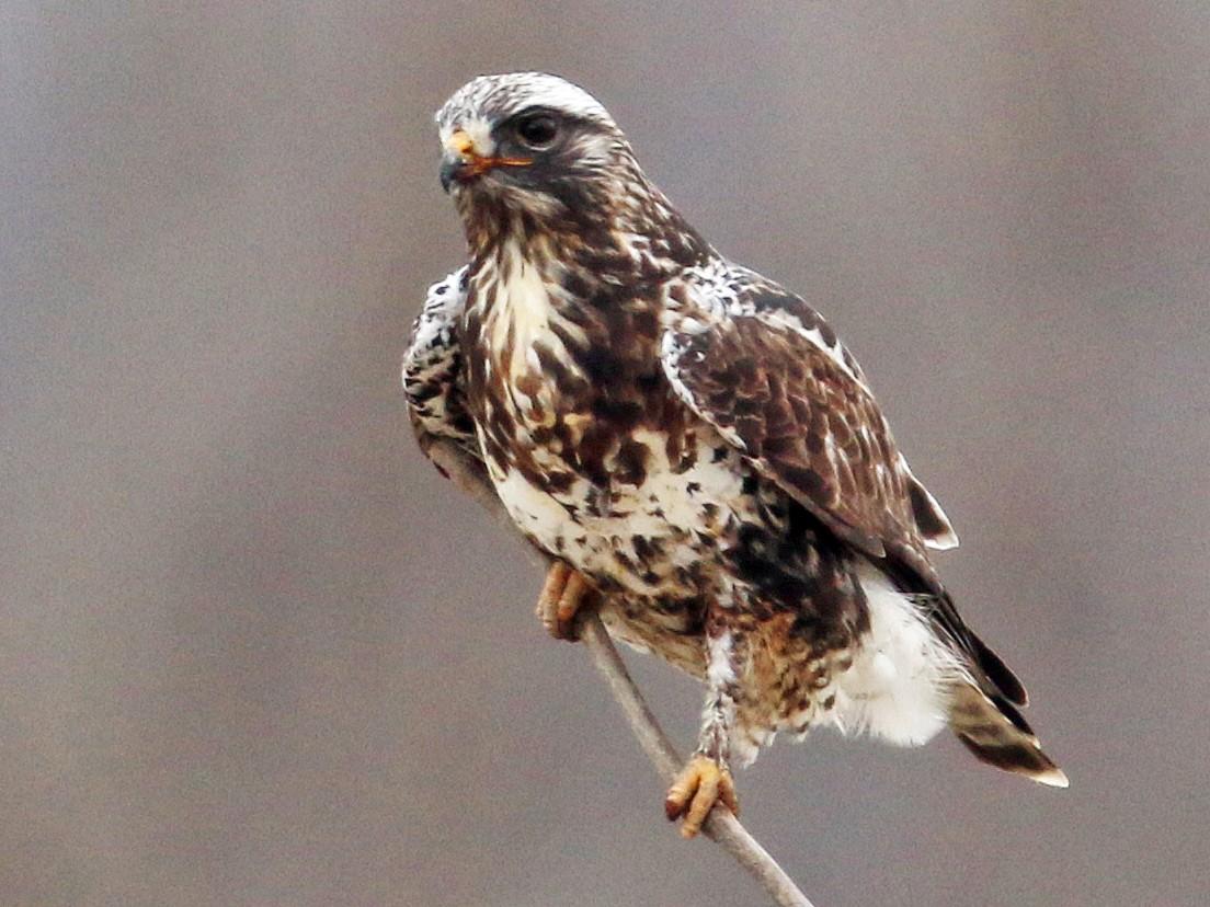 Rough-legged Hawk - Daniel Jauvin