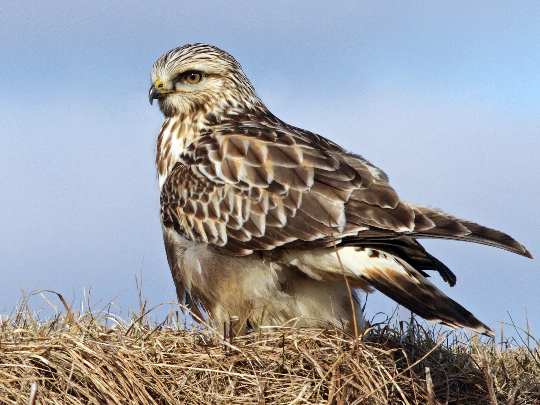 Rough-legged Hawk - Ian Davies