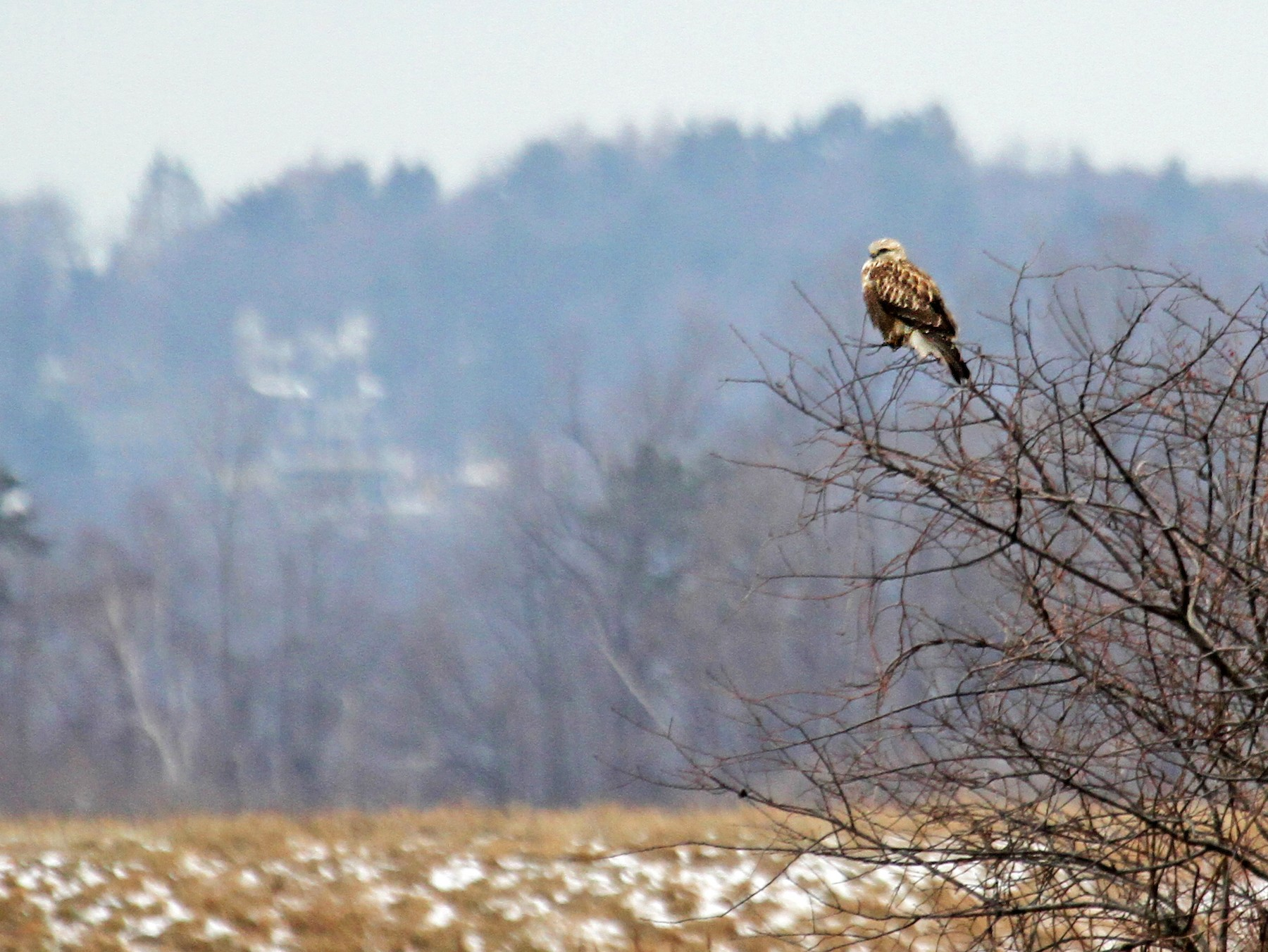 Rough-legged Hawk - Ryan Schain
