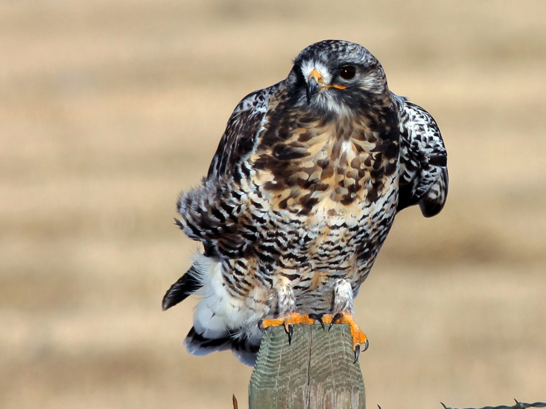 Rough-legged Hawk - Shawn Billerman