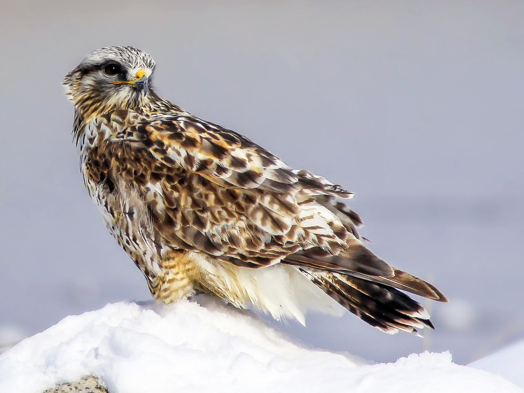 Rough-legged Hawk - Matthew Pendleton
