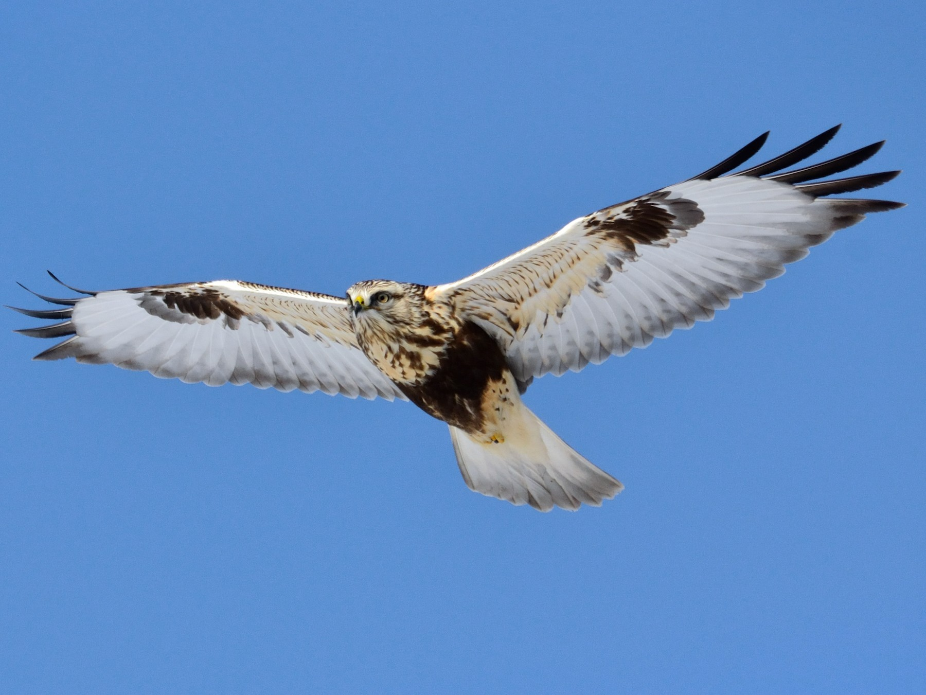 Rough-legged Hawk - Rodney Crice