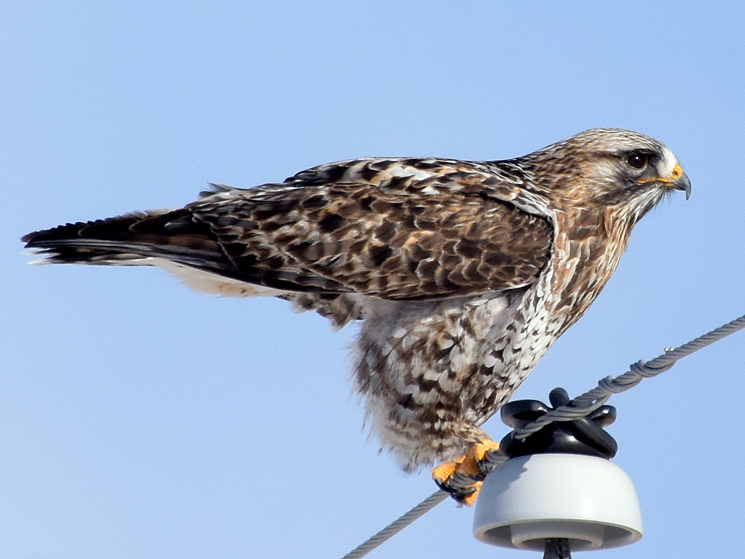 Rough-legged Hawk - Steven Mlodinow