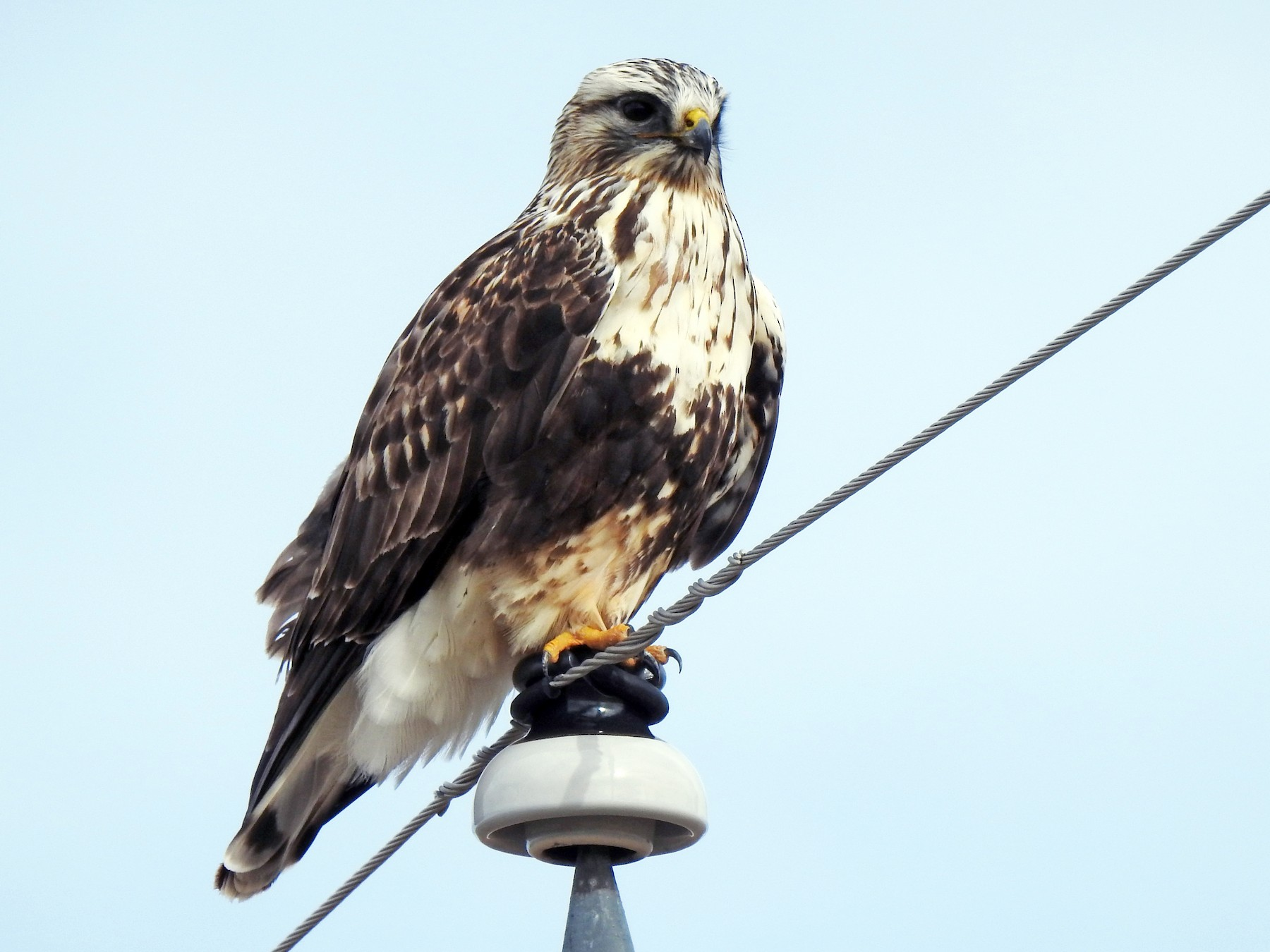 Rough-legged Hawk - Joel Adams