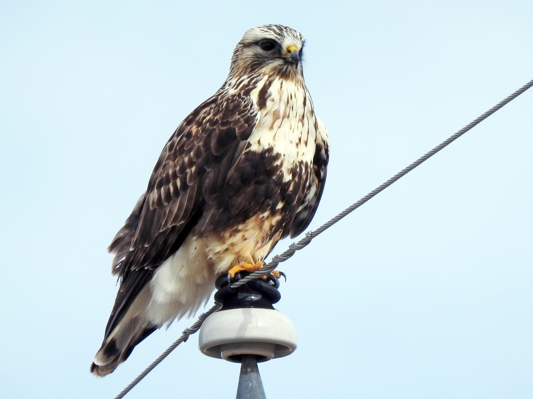 Rough-legged Hawk - Joel Adams