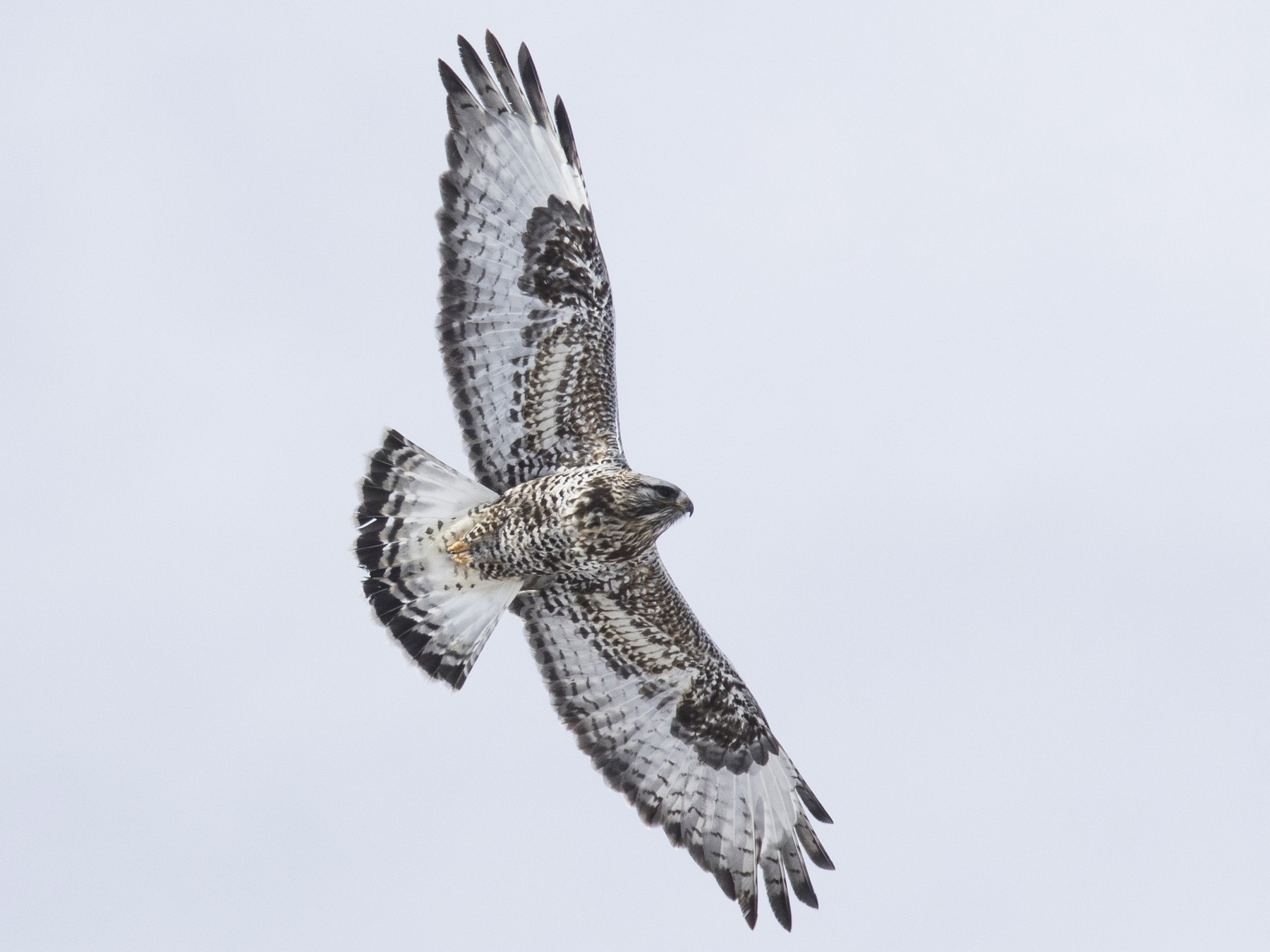 Rough-legged Hawk - Bryce Robinson