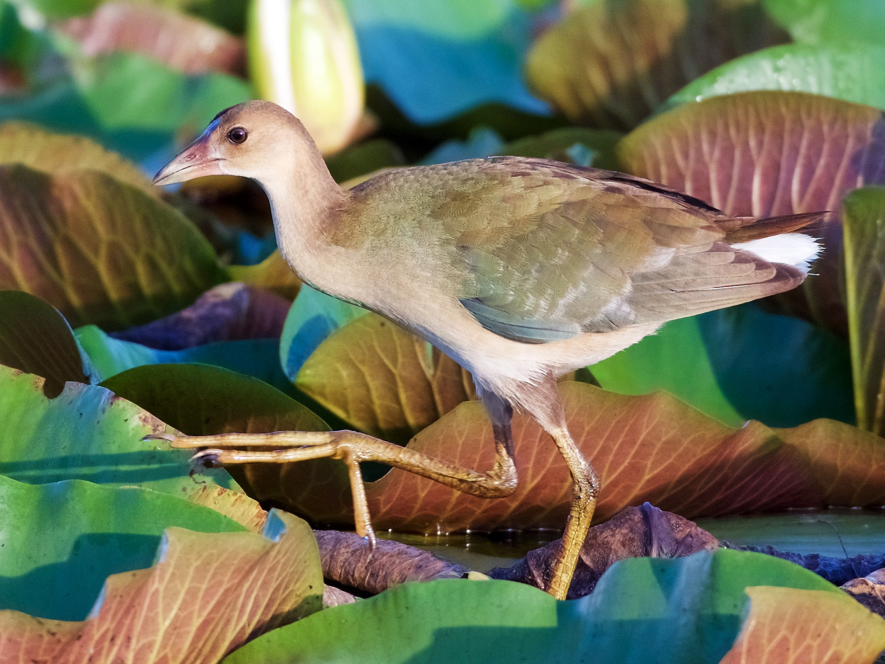 Purple Gallinule - Jamie Baker