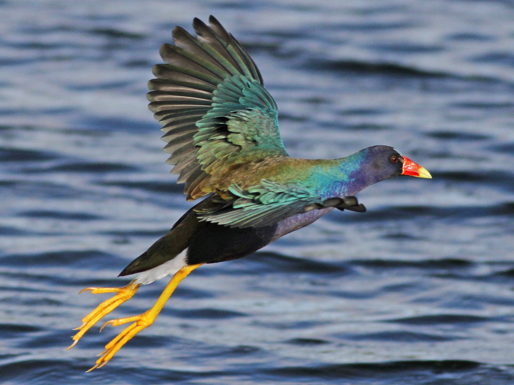 Purple Gallinule - Alex Lamoreaux