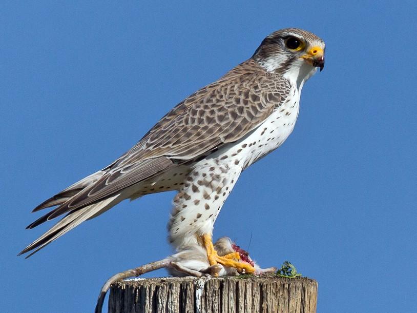 Prairie Falcon - eBird