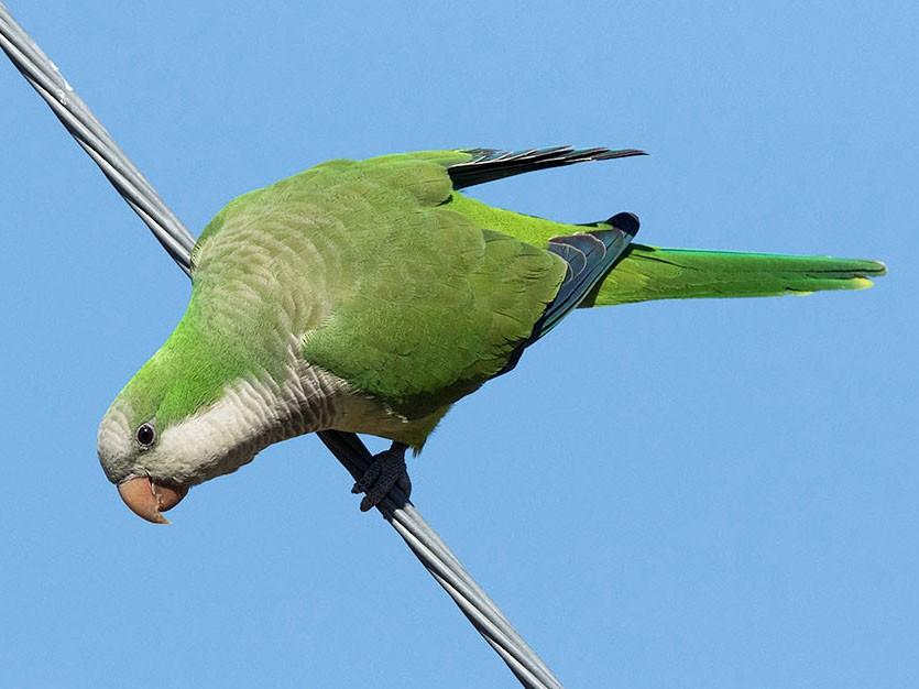 Monk Parakeet - Mike Cameron