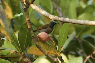- Bannerman's Sunbird