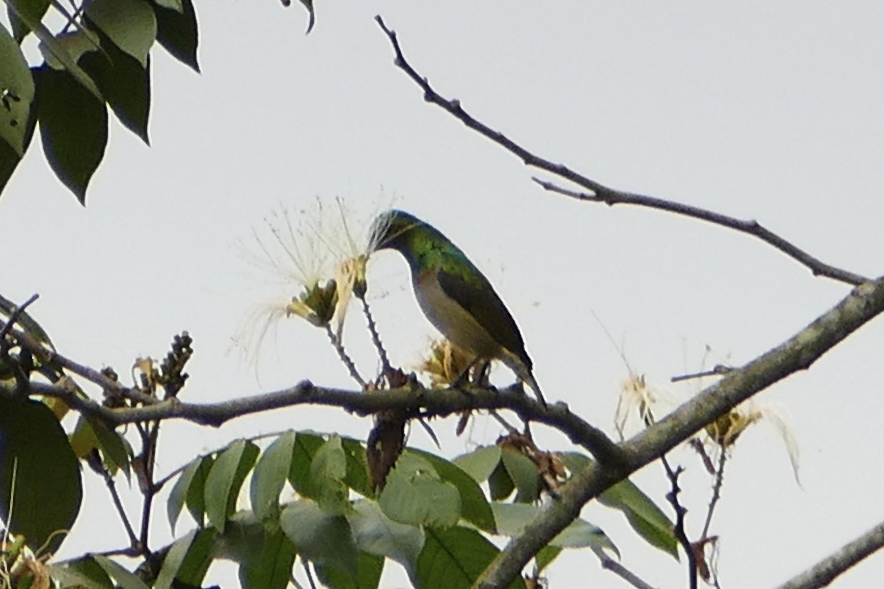 Green Sunbird - Peter Kaestner