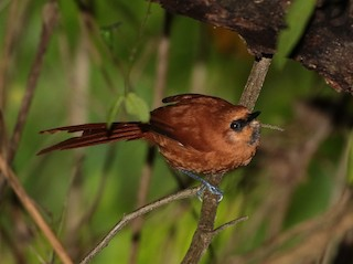 - Black-throated Spinetail