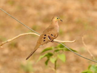 - Long-tailed Ground Dove