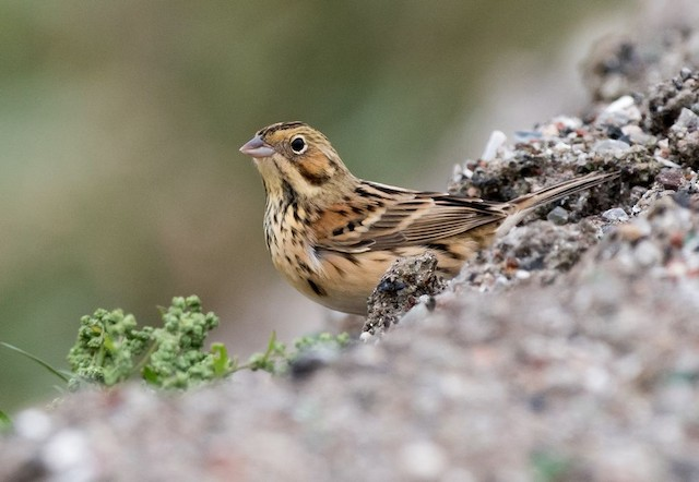 Chestnut-eared Bunting