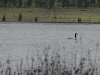 Black-necked Swan, ML71688201