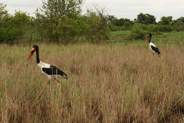 A pair walking around the savanna.