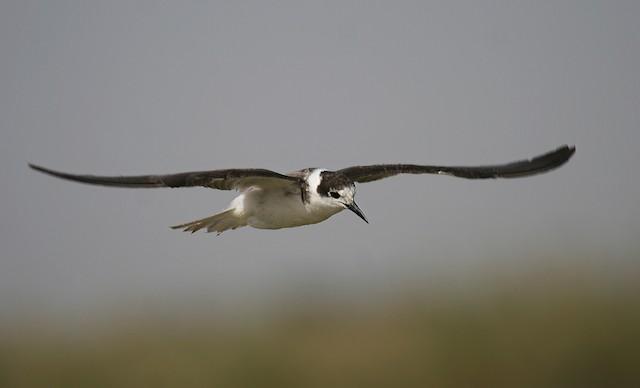 Black Tern (Eurasian)