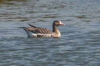 Greater White-fronted Goose, ML71765361