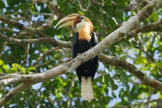 - Blyth's Hornbill