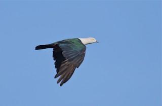 - Elegant Imperial-Pigeon
