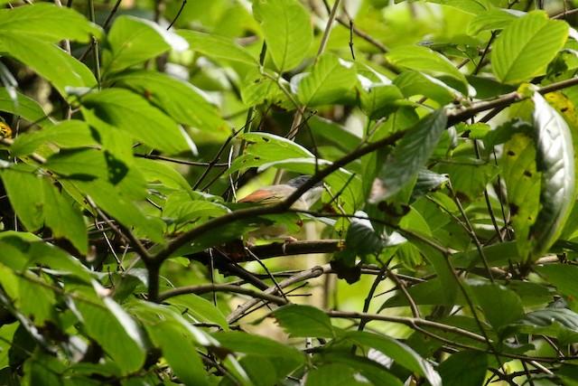 Himalayan Shrike-Babbler