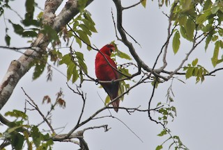 - Red Lory