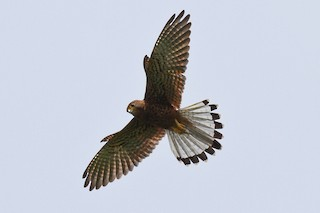 - Spotted Kestrel