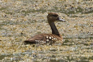 Spotted Whistling-Duck, ML71906601