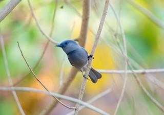- Pale-blue Monarch