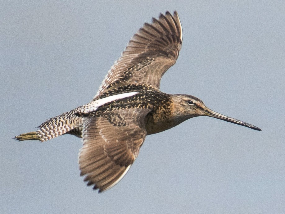 Long-billed Dowitcher - Caroline Lambert
