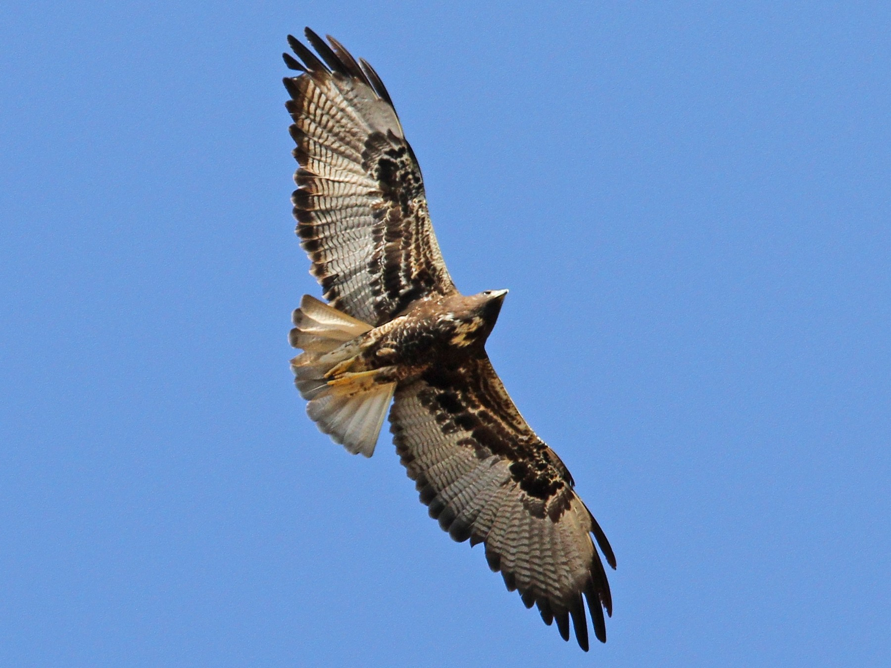 White-tailed Hawk - Christoph Moning