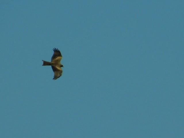 Black Kite (Yellow-billed)