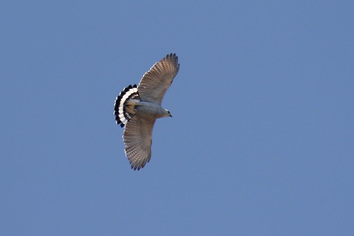Gray-lined Hawk ML72073851