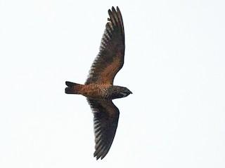 - Short-tailed Nighthawk