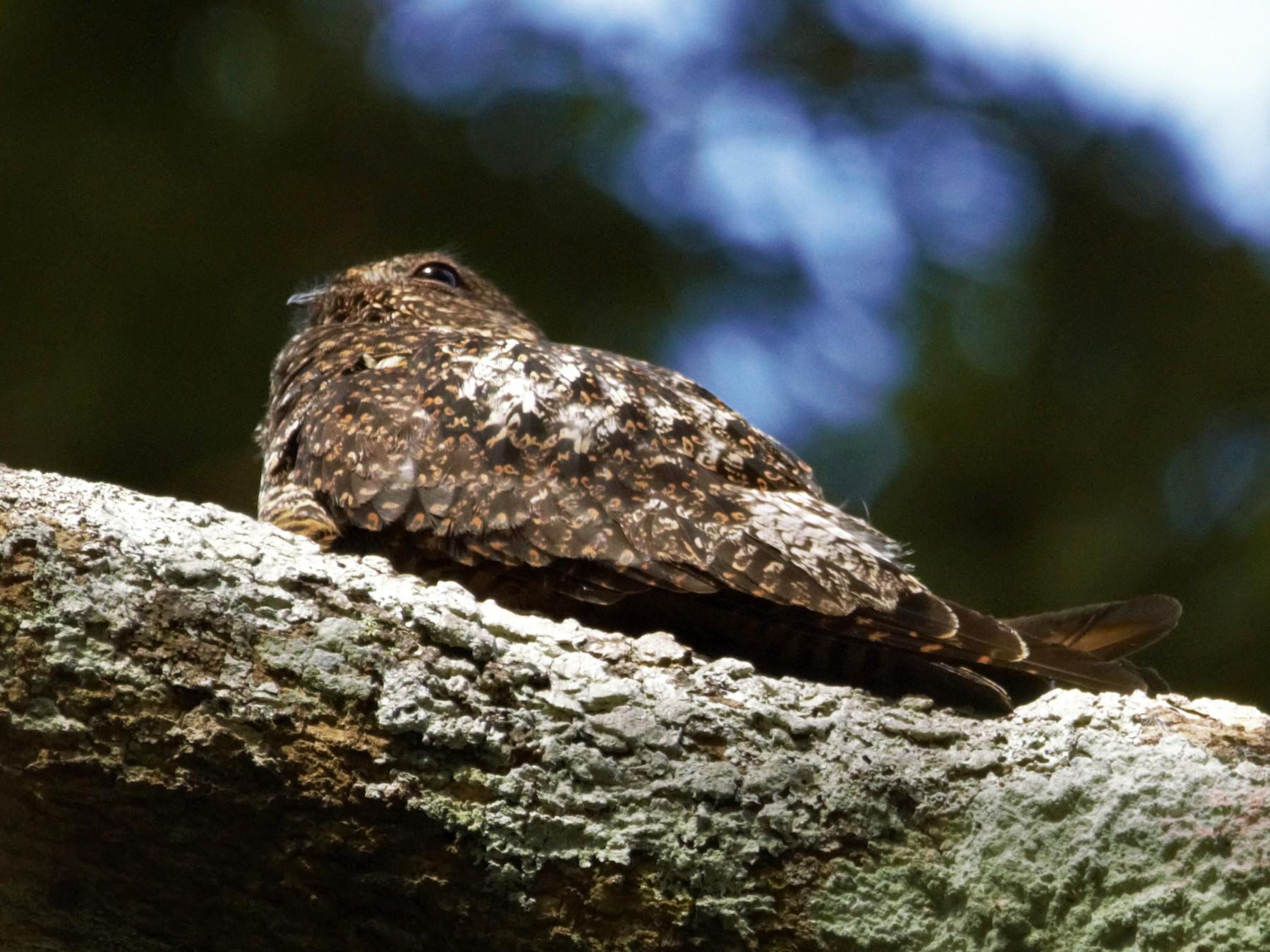 Short-tailed Nighthawk - Carlos Candia-Gallardo