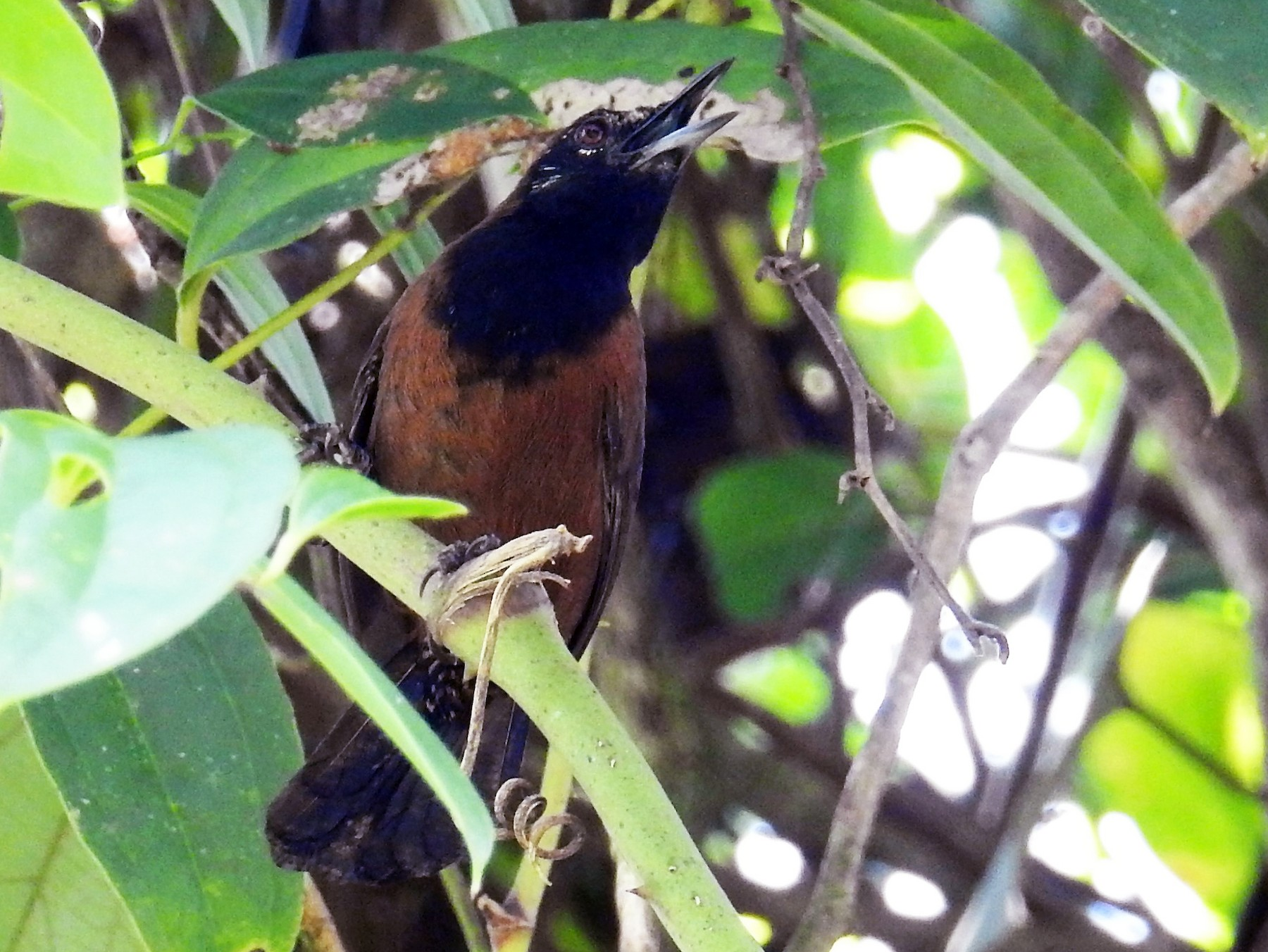 Black-throated Wren - Euclides