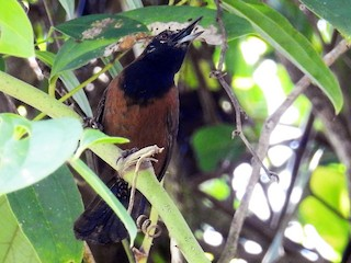 - Black-throated Wren