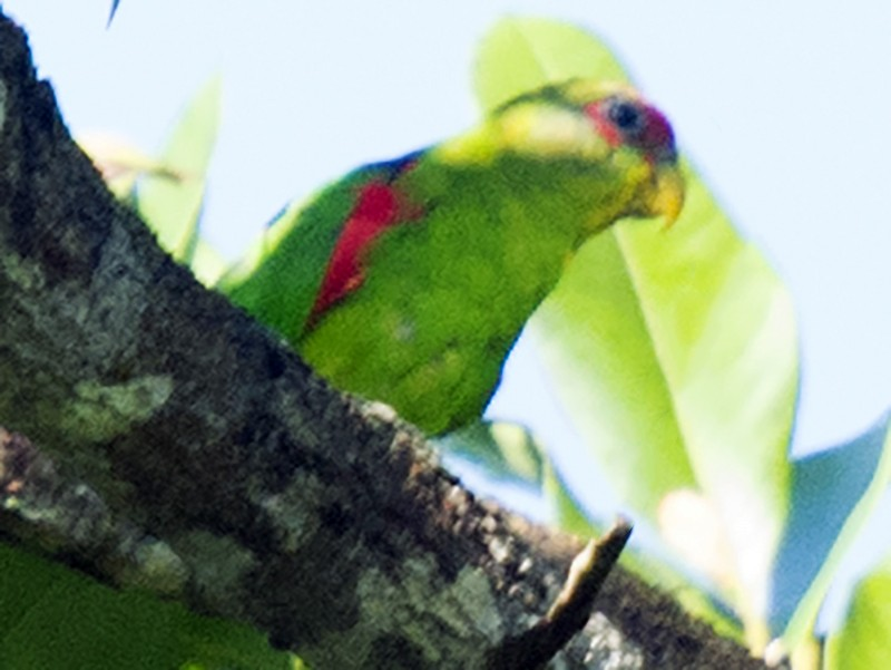 Red-fronted Parrotlet - Diego Quesada