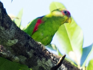- Red-fronted Parrotlet