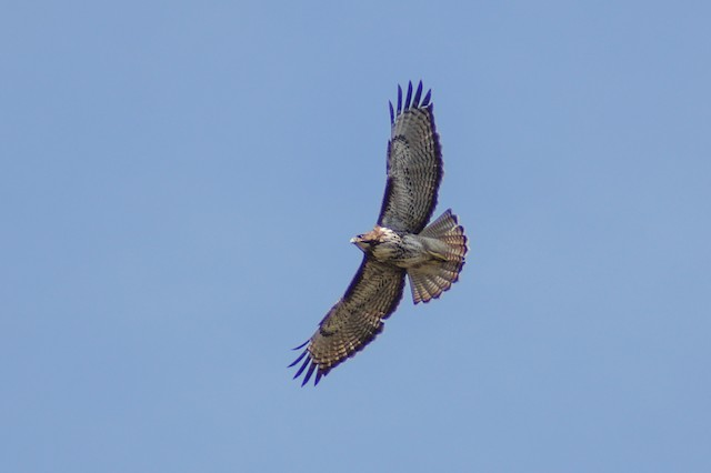 Rufous-tailed Hawk