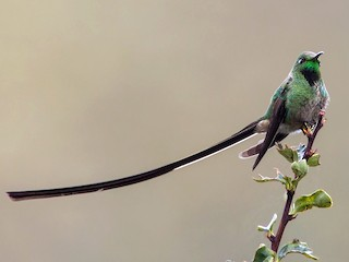 - Black-tailed Trainbearer